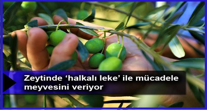 Zeytinde 'halkalı leke' ile mücadele meyvesini veriyor