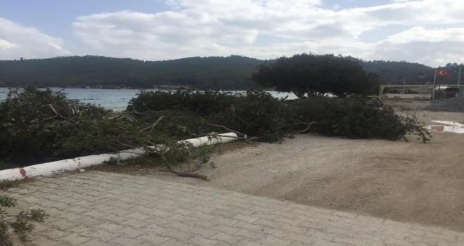 Akbük'te ağaç katliamı
