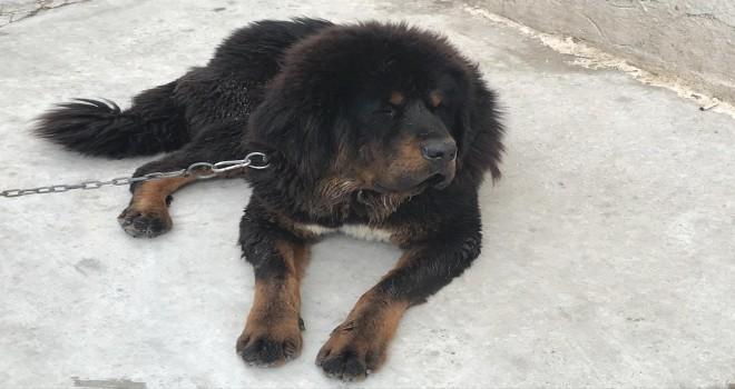 Tibet Mastifi görenleri hayran bırakıyor